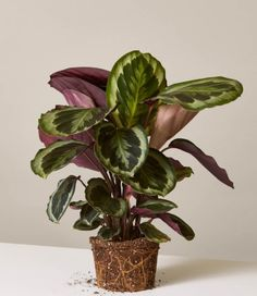 Indoor Vegetable Gardening gallery image - The Medallion Calathea gets its name from the unique roundness of its leaves. It comes in a tall by wide plastic nursery pot. They do well in medium light, and weekly waterings. This houseplant is pet-friendly! Indoor Vegetable Gardening, Hydroponic Gardening, Garden Plants, Container Gardening, Organic Gardening, Gardening Vegetables, Gardening Blogs, Gardening Services, Herb Garden