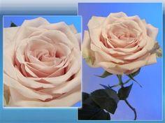 Sahara Standard Rose