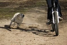 Dogs and Cyclists Encounter could be risky. Article deals with Attack Background, Attack Signals, Preventing or Coping with Assault. Photo & video.
