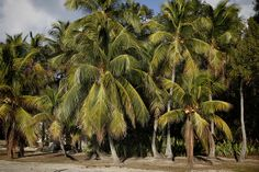 Palms in Key Largo
