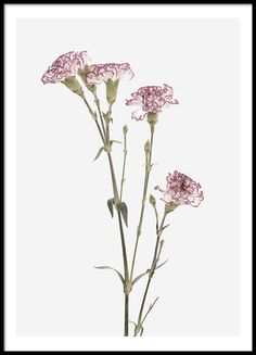 Carnation Flower, julisteet