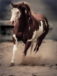 Amazing lLiver-Chestnut Paint Stallion. This Fella Does Have a Touch of Red Though. Could Place Reddish in Front.