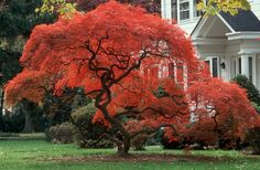 Beautiful Japanese Maple in Autumn...