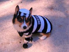 Corgi Convict - Guilty of cuteness!  OMG the tiny ball & chain!!!!!