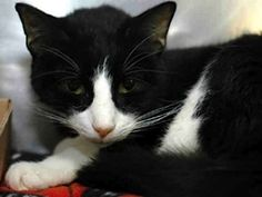 Terry is an adoptable Tuxedo Cat in New York, NY. Terry was saved by his winning personality and good looks! A vet fell in love with him and said Terry must live We took one look and agreed! So Terry ...