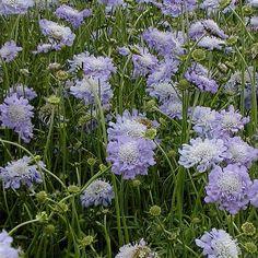 Výsledek obrázku pro Scabiosa caucasica PERFECTA BLUE