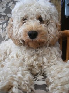 Blonde Cockapoo, he looks like a teddy bear