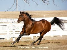 PLAYIN BY THE BAY ~ NCHA Stallion~ Horses ~ photo by Probity Photography