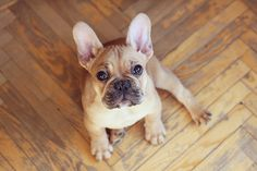 I really want a french bulldog.. hees name ees Jacques, or Pierre. Albert. Biff Wellington.
