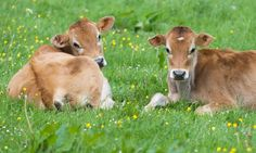 The Secret Life of Cows  http://www.animalsaustralia.org/issues/secret-lives-of-cows.php #compassion