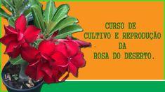 Como Cultivar Rosa do Deserto. Como cultivar Rosas do Deserto? Dicas… | by Blogmaxprime | Medium Exotic Plants, Diy Home Improvement, Cactus, Bonsai, Trees, Videos, Youtube, How To Replant Orchids, Healthy Deserts