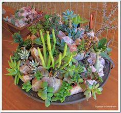 colored succulents - Google Search