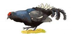 Pohjois-Suomen Kevätseuranta | Luonto-Liiton Kevätseuranta Rooster, Animals, Animales, Animaux, Animal, Animais, Chicken