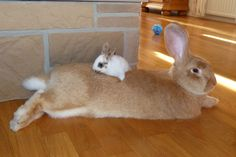 It appears this rabbit has a hareball
