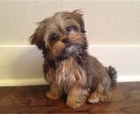 Shorkie - I guess I will allow a spot for at least one other dog besides the AS. These are CUTE!