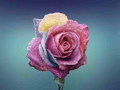 Rose beautiful beauty bloom