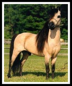 Buckskin Light pony