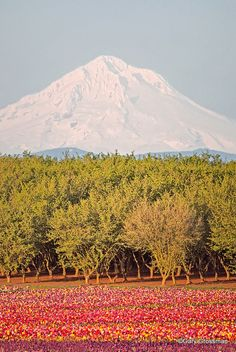 Oregon ~ hazelnut orchard, tulips & Mount Hood.