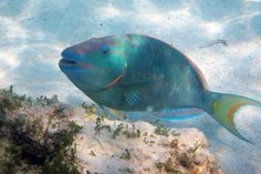 Parrot Fish - Turks & Caicos I heard one grinding on coral underwater!