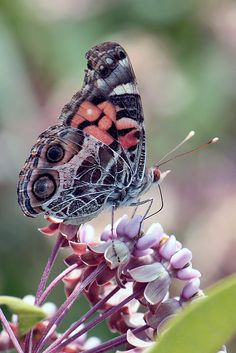 American Painted Lady butterfly.