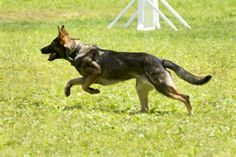 Excel K9 Services, Inc -  German Shepard