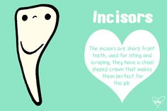 All about incisors