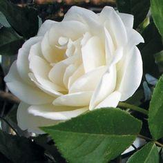 Rosier Iceberg, Fée des neiges : le plus beau des rosiers blancs à fleurs groupées