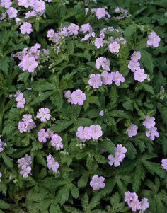 Geranium maculatum 'Chatto'