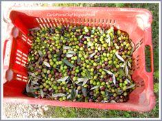 #olives #tuscany #tuscanoil #oliveharvest #olionuovo #villalalodola