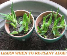 Aloe Vera Plant Care