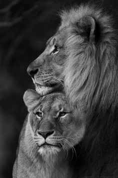 Lion love                                                                                                                                                                                 More