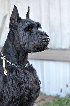 i had a giant schnauzer...colt...he was stolen...i miss him..even though he beat me up ALL THE TIME...i miss him!