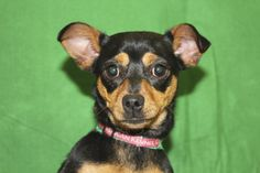 Bumblebee, an adoptable Chihuahua/Dachshund mix in Broomfield, CO! www.muttsavers.org