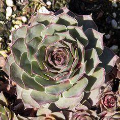 Sempervivum Andre Smits cold hardy succulent plant BIG SALE!