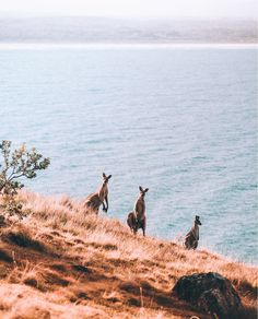 Kangaroos on a hill Hat Head National Park NSW Australia