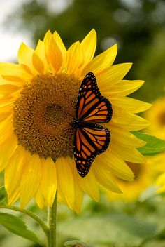 Blue Butterfly Discover Nature - Monarch butterfly on Sunflower. Sunflower Pictures, Sunflower Art, Butterfly Pictures, Sunflower Quotes, Butterfly Quotes, Flower Phone Wallpaper, Butterfly Wallpaper, Monarch Butterfly, Blue Butterfly