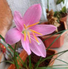 """16 Likes, 1 Comments - Tushar Mestry (@_tushar_091) on Instagram: """"#lovefromooty #startedflowering #thisflower #mygarden #lovedit #flowercolors"""""""