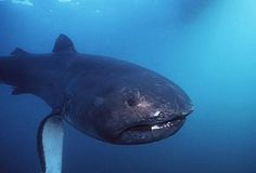 Discovered in the Megamouth shark is an extremely rare species. Only 54 of them have ever been seen. Underwater Creatures, Ocean Creatures, Discovery Channel, Megamouth Shark, Pelagic Fish, What Animal Are You, Shark Pictures, Shark Pics, Types Of Sharks