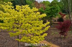 The Rising Sun™ Eastern Redbud, Cercis canadensis 'JN2'. Abundant pea-like lavender-rose flowers appear early spring before foliage. Heart-shaped deep apricot leaves appear and mature through shades of orange, gold and yellow with all colors present at once! Foliage turns a shade of lime green in the summer heat. Resistant to heat and burn. Ideal as a specimen or accent plant in any garden setting.
