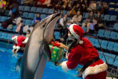 A dolphin returns a present to its trainer during a special Christmas show at the Shinagawa Aqua Stadium in Tokyo on Tuesday. | SOURCE: http://www.japantoday.com/category/picture-of-the-day/view/thank-you-3
