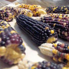 Growing Popcorn - Whitaker Gardens and Micro-Farm Blog - GRIT Magazine