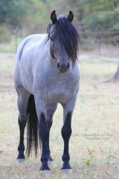 Gayfields Speedy Getaway, a blue roan Welsh Sec. B stallion. This picture shows the upside down V's you'll see on the front legs of a lot of true roans.