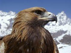 Eagles - Fondos de escritorio gratis: http://wallpapic.es/animales/eagles/wallpaper-37672