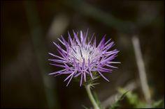 Creo que es la flor de un Cardo. En el Hierro.
