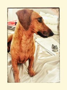 Mr Luey our adopted Daxie & his 'I heard it & I want it' pose! He is our 2nd Daxie fur-child.