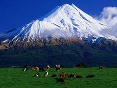 Cattle Graze Beneath the Dormant Volcano Mt. Taranaki, or Egmont, Taranaki, New Zealand by David Wall.