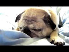 Super funny pug compilation  So cute and funny  Please subscribe to pugs for life