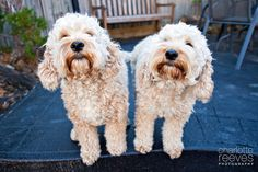 Client Session ~ Cadbury and Jaffa the Poodle x Spaniels (Spoodles)