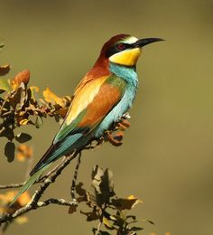 Bee-eater-9915 by Paradise in Portugal, via Flickr