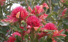 Not much else beats a waratah in Australia. Pinned by Janna Schreier